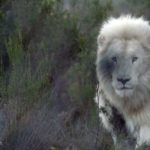 Neptune the white lion