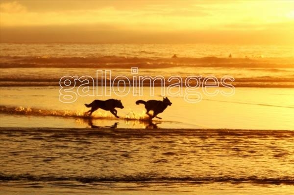 Wolves running on a beach. Stock Image.
