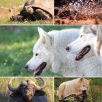 Wolfdog Inka & Arawak