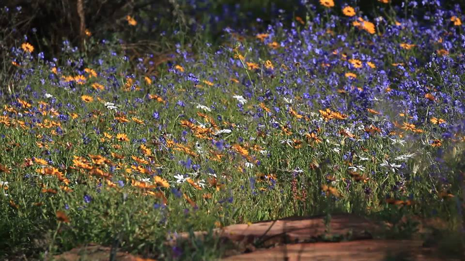Namaqualand wildflowers. South Africa