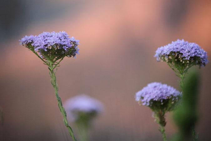 Fynbos flowers