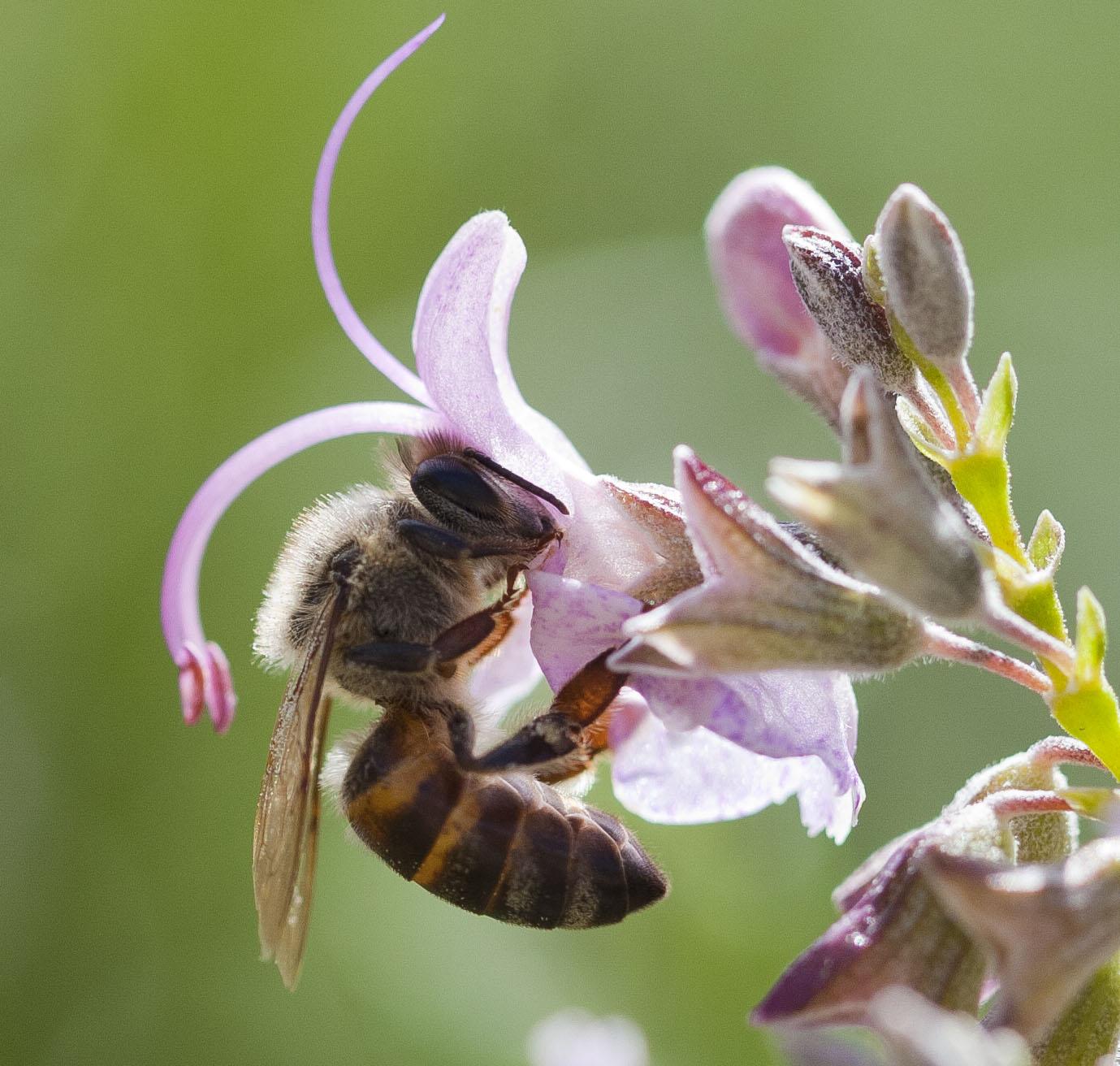 Honey Bee on a Rosemary flower.
